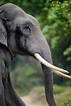 Bull Asian elephant (Elephas maximus) - 'tusker' - in forest (tusks). Kaziranga National Park, Assam, India.