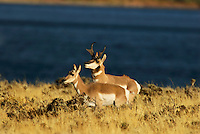 Pronghorn (Antilocapra americana) buck approaching doe during fall rut.  Western U.S.