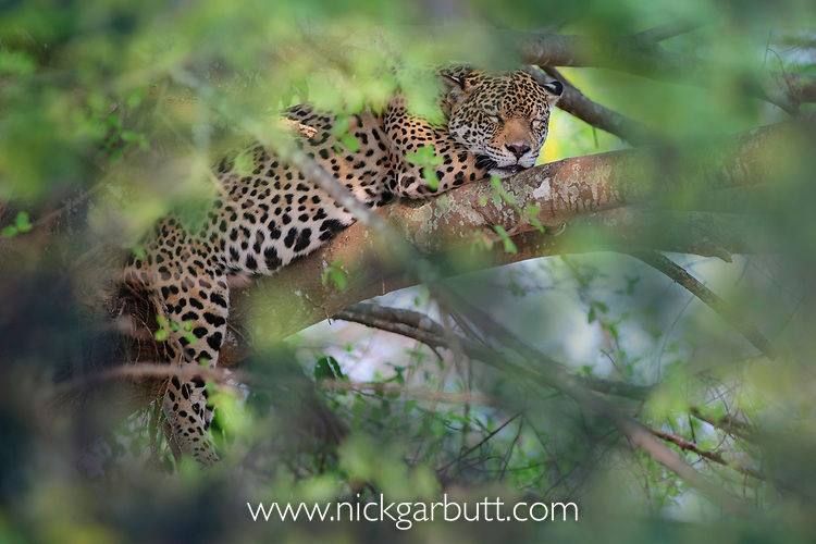 Female Jaguar (Panthera onca palustris) resting / sleeping in a tree. Caiman Lodge / Oncafari Project, southern Pantanal, Mato Grosso do Sul State, Brazil.