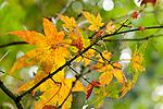 Europa, DEU, Deutschland, Nordrhein-Westfalen, Niederrhein, Duesseldorf, Nordpark, Japanischer Garten, Herbst, Ahornblaetter, Herbstfarben, Natur, Umwelt, Landschaft, Jahreszeiten, Stimmungen, Landschaftsfotografie, Landschaften, Landschaftsphoto, Landschaftsphotographie, <br /> <br /> [Fuer die Nutzung gelten die jeweils gueltigen Allgemeinen Liefer-und Geschaeftsbedingungen. Nutzung nur gegen Verwendungsmeldung und Nachweis. Download der AGB unter http://www.image-box.com oder werden auf Anfrage zugesendet. Freigabe ist vorher erforderlich. Jede Nutzung des Fotos ist honorarpflichtig gemaess derzeit gueltiger MFM Liste - Kontakt, Uwe Schmid-Fotografie, Duisburg, Tel. (+49).2065.677997, ..archiv@image-box.com, www.image-box.com]