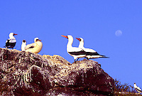 Masked Boobys.  They are the largest of the booby family.