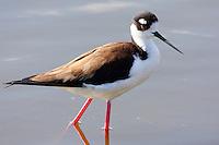 Adult female black-necked stilt