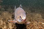 Lake Whitefish facing camera