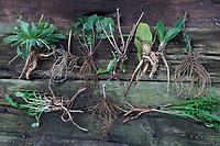 Wurzel-Ernte, Wurzelernte im Herbst, Wurzel, Wurzeln. Root, roots, root stock. Von oben links im Uhrzeigersinn: Nachtkerze, Nachtkerze-Wurzel, Nachtkerze-Wurzeln, Nachtkerzen-Wurzel, Nachtkerzen-Wurzeln, Nachtkerzenwurzel, Nachtkerzenwurzeln, Oenothera biennis, Common Evening Primrose, Evening-Primrose, Evening star, Sun drop, taproot, Onagre, L'Onagre bisannuelle. Baldrian, Echter Baldrian, Echter Arznei-Baldrian, Arzneibaldrian, Katzenwurzel, Baldrianwurzeln, Baldrian-Wurzel, Baldrian-Wurzeln, Valeriana officinalis, Common Valerian, Valériane officinale. Nelkenwurz, Nelkenwurz-Wurzel, Nelkenwurz-Wurzeln, Echte Nelkenwurz, Geum urbanum, wood avens, herb Bennet, colewort, St. Benedict's herb, La benoîte commune, benoite commune. Seifenkraut, Echtes Seifenkraut, Seifenwurz, Waschwurz, Seifenkrautwurzel, Seifenkraut-Wurzel, Seifenkrautwurzeln, Seifenkraut-Wurzeln, Saponariae rubrae radix, Radix saponariae, Saponaria officinalis, common soapwort, bouncing-bet, crow soap, wild sweet William, soapweed, La saponaire officinale. Wilde Karde, Kardenwurzel, Kardenwurzeln, Dipsacus fullonum, Dipsacus sylvestris, Fuller's teasel, wild teasel, common teasel, La Cardère sauvage, Cabaret des oiseaux, Cardère à foulon, Bonnetier sauvage, Chardon à bonnetier. Beifuß, Beifuß-Wurzel, Beifuß-Wurzeln, Beifuss-Wurzel, Beifuss-Wurzeln, Gewöhnlicher Beifuß, Beifuss, Artemisia vulgaris, Mugwort, common wormwood, wild wormwood, wormwood. L'Armoise commune, L'Armoise citronnelle. Wegwarte, Wegwarte-Wurzel, Wegwarten-Wurzel, Wegwarte, Zichorie, Cichorium intybus, Chicory, Common chicory, La Chicorée sauvage, Chicorée amère, Chicorée commune, Chicorée intybe. Brennnessel, Brennnesselwurzeln, Brennnessel-Wurzeln, Wurzelernte, Brennnesselernte, Ernte, Große Wurzelstock, Wurzelrhizome, Wurzeln, Wurzel im Frühjahr, Brennessel, Urtica dioica, Stinging Nettle, common nettle, nettle leaf, root, roots, La grande ortie, ortie dioïque, ortie commune. Löwenzahn, Löwenzahn-Wurzel,