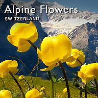 Alpine flowers | Pictures Photos Images & Fotos