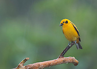 Golden tanager, Tangara arthus goodsoni, in light rain, Tandayapa Valley, Ecuador