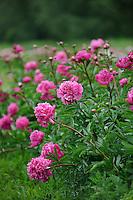Paeonia 'Edmund Spencer' (Peony)