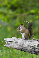 Red Squirrel, Pine Squirrel (Tamiasciurus hudsonicus), adult eating pine cone, Grand Teton NP,Wyoming, USA