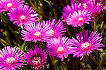 Aster flowers seem to glow in the spring sunlight.  Rehoboth Beach, Delaware, USA.