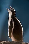 Gentoo Penguin chick (Pygoscelis papua). Peterman Island, Antarctic Peninsula, Antarctica.