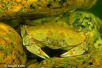 1Y34-007b  Rock Crab - camouflaged among rocks - Cancer irroratus