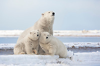 Polar bear sow and cub sit at the water's edge on a barrier island in the Beaufort Sea, Arctic National Wildlife Refuge, Alaska.