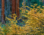 Dogwood, Giant Forest, Sequoia National Park, California