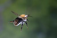 Ackerhummel, Flug, fliegend, Acker-Hummel, Hummel, Bombus pascuorum, Bombus agrorum, Megabombus pascuorum floralis, common carder bee, carder bee, flight, flying, le bourdon des champs