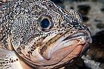 blackbelly rosefish, close-up of face
