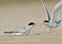 Least Tern (Sterna antillarum), male feeding fish to female sitting on nest, South Padre Island, Texas, USA