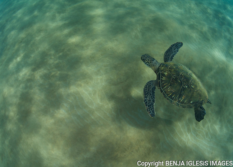 Green sea turtles swimming over sand and reef on the south shores of MAui, Hawaii.