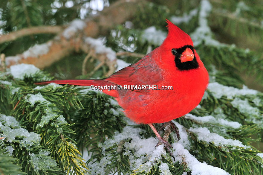 00132-002.13 Northern Cardinal male is perched in snow covered spruce tree during winter.  Red, cold, Christmas, backyard.