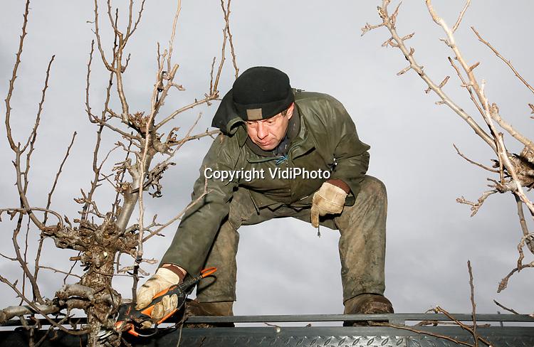 """Foto: VidiPhoto<br /> <br /> DRIEL – Eenzaam en alleen snoeit bedrijfsleider John Loijen van Van Lutterveld Fruit Driel (Gld) dinsdag de toppen van de conferenceperen langs de Rijndijk. Het Roemeense personeel van het fruitbedrijf is nog niet terug van kerstreces en daarom gaat de bedrijfsleider alvast in z'n eentje aan de slag. Voor april moet er langs de dijk 18 ha. peren gesnoeid worden. De moderne hydraulisch hoogwerker wordt getrokken door een tractor die dankzij sensoren automatisch tussen de bomen door rijdt. Snoeien van perenbomen is volgens Loijen minder lastig dan appelbomen. """"Maar je hebt er altijd iemand tussen zitten die het nooit leert."""""""