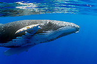 humpback whale, Megaptera novaeangliae, an extremely friendly, but curious whale, extending pectoral fin to reach out, Hawaii, USA, Pacific Ocean