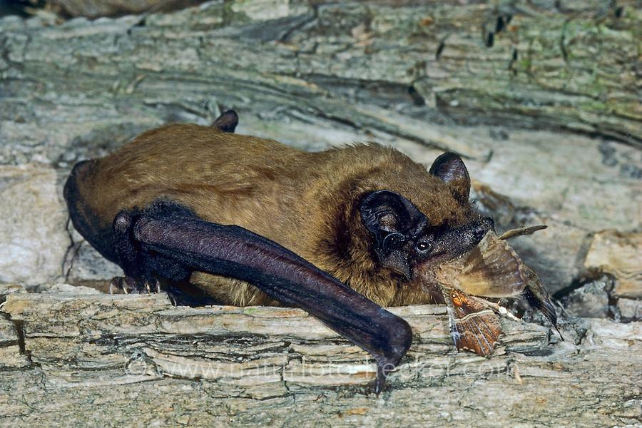 Großer Abendsegler, mit Beute, frisst Nachtfalter, Nyctalus noctula, common noctule, noctule bat, La Noctule commune