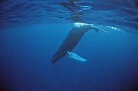 Humpback whale, Calf, Megaptera novaeangliae, Rurutu, Pacific Ocean, Tahiti, French Polynesia