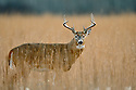 00274-305.11 White-tailed Deer Buck (DIGITAL) with large 8-pt. antlers and big body is in meadow during fall.  Hunt, Hunting.   H7R1