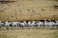 Kranich, Trupp, Schwarm frisst während der Zugzeit auf Feld, Grus grus, common crane