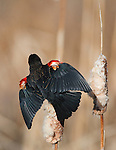 Courtship display of male Red-winged Blackbird in spring at the Lee Metcalf Wildlife Refuge in Montana. Showing off his red wing patches