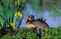 Wood Duck drake resting on log surrounded by yellow iris flowers. Spring..British Columbia, Canada. (Aix sponsa).