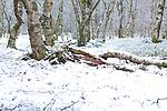 Europa, DEU, Deutschland, Hessen, Rhoen, Kuppenrhoen, Winter, Rotes Moor (Rhoen), Karpatenbirken, Schnee, Biosphaerenreservat Rhoen, Natur, Umwelt, Landschaft, Landschaftsfotos, Landschaftsfotografie, Landschaftsfoto, Wetter, Wetterelemente, Wetterlage, Wetterkunde, Witterung, Witterungsbedingungen, Wettererscheinungen, Meteorologie, Wettervorhersage,