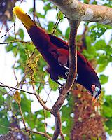 Montezuma oropendola displaying at nesting colony