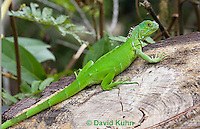 0625-1109  Young Green Iguana (Common Iguana), Belize, Iguana iguana  © David Kuhn/Dwight Kuhn Photography