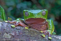 Giant Monkey Frog (Phyllomedusa bicolor) on a tree in lowland tropical rainforest, Tambopata National Reserve, Peru.