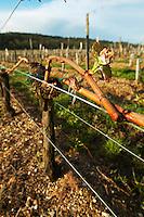 guyot double training with bud vineyard chateau pey la tour bordeaux france