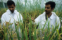 PHILIPPINES, IRRI international rice research institute est. by Ford and Rockefeller Foundation in Los Banos near Manila , trial field in greehouse with Golden Rice, a GMO crop with vitamin A betacarotin, scientist, vitamin A deficiency mostly affects women and children – causing sickness, blindness, and even death / PHILIPPINEN, Forscher im Gewaechshaus am IRRI, Internationale Reisforschungsinstitut in Los Banos, Entwicklung von Genmanipuliertem Reis mit eingesetztem Vitamin A und Betacarotin, auch Goldener Reis genannt