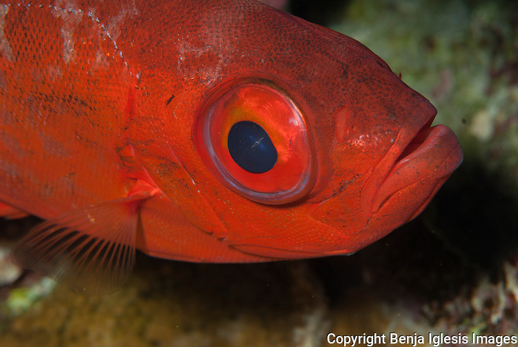 Close up profile of a bigeye Molokini Maui Hawaii.This fish is found in all tropical seas.