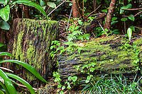 Tree logs covered with green moss at the Harold L. Lyon Arboretum and Botanical Garden, Honolulu, O'ahu.