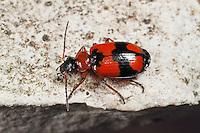 Kleinkreuz-Prunkläufer, Kleinkreuz-Punktläufer, Lebia cruxminor, Lebia crux-minor, ground beetle