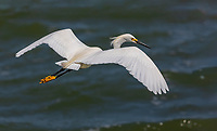 Snowy Egret in flight over water