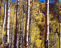 The canopy of Aspens creates a pleasant tint on the surrounding area on the Piney River Trail.