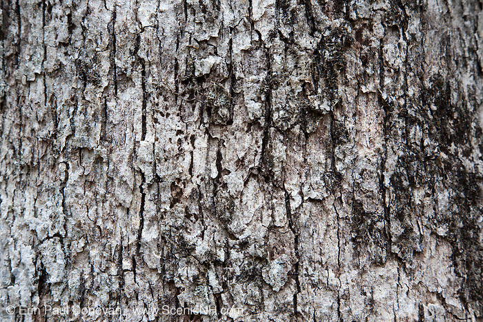 White Oak - Quercus alba - in the Sandown, New Hampshire Town Forest during the spring months