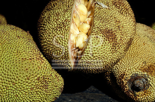 Brazil. Jack fruit - 'Jaca' (Artocarpus integrifolia) split open to show the pulp and seeds.