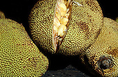Brazil. Jack fruit - 'Jaca' (Artocarpus integrifolia) split open to show the pulp and seeds.