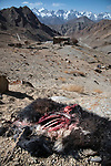 Carcass of a domestic yak or dzo (killed by a snow leopard). Himalayas, Ladakh, northern India.