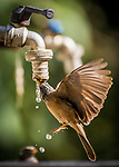 ON TAP - Birds take turns drinking water droplets from a tap by Amardeep Singh
