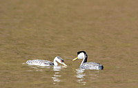 A Western Grebe, Aechmophorus occidentalis, accepts a fish from its mate on Upper Klamath Lake, Oregon