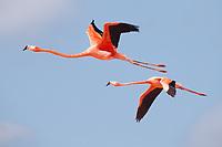 American Flamingo pair in flight (Phoenicopterus ruber). Yucatan, Mexico.