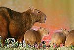 Capybara, Venezuela
