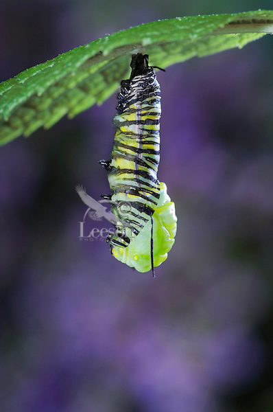 MONARCH BUTTERFLY life cycle..Pupation on Joe-Pye Weed leaf..North America. (Danaus plexippus)